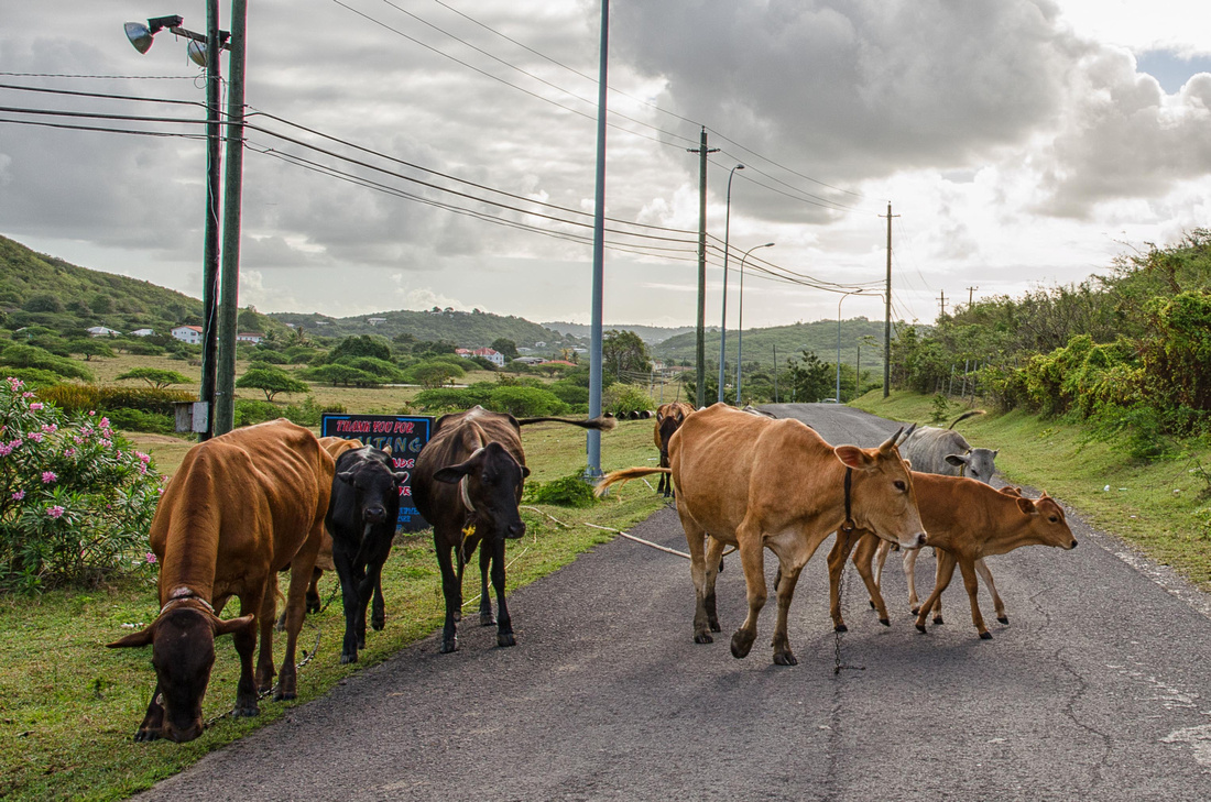 Cows in the road!