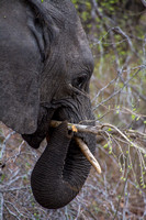 Elephant munching
